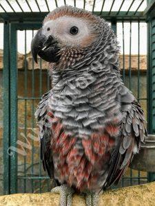Yaco real mutación loro gris africano